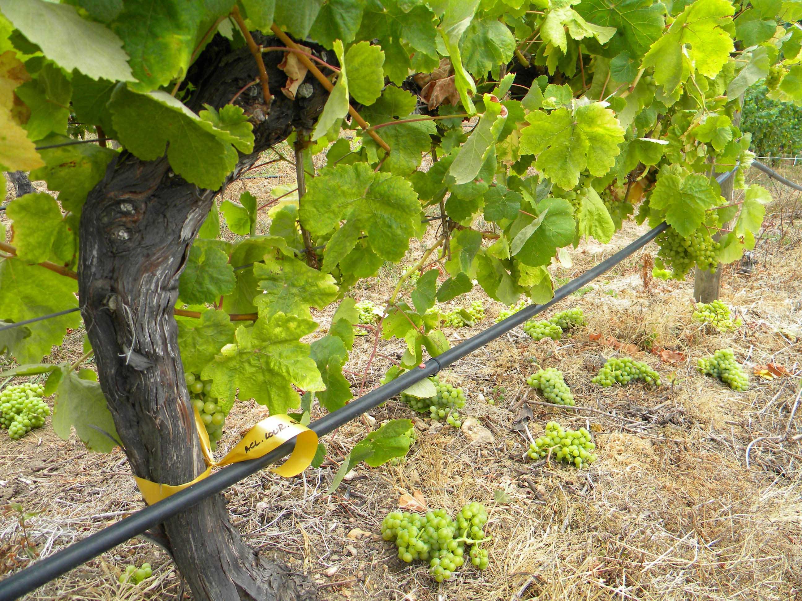 Aclareo en las viñas de Terras Gauda.